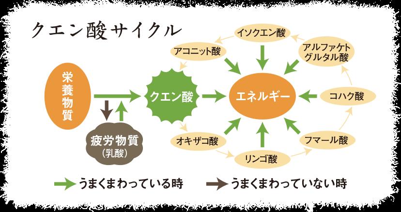 クエン酸サイクル